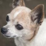チワワ犬の眼球突出が起きたらどうする?応急処置や原因・手術費用